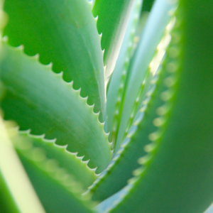 liść aloe vera